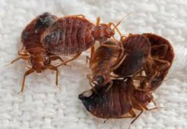 5 Things You Didn't Know About Bedbugs
